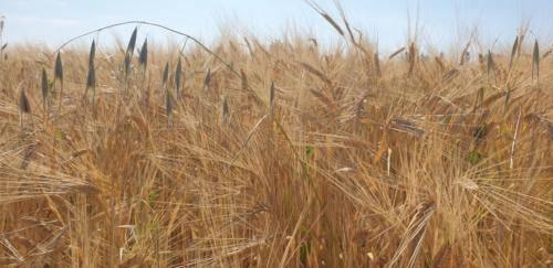Weizen ist reif